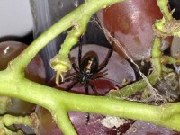 Viúva-negra em cacho de uva